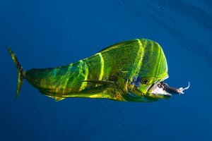 dolphinfish_mahi-mahi_cvl_april2010_mg_7945web-use-only