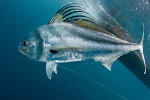 roosterfish_01-08-2011