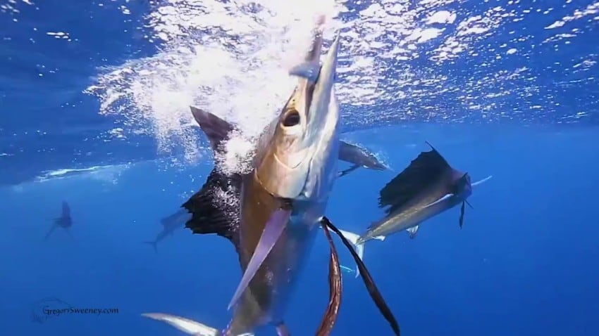 papagayo fishing sportfishing in guanacaste